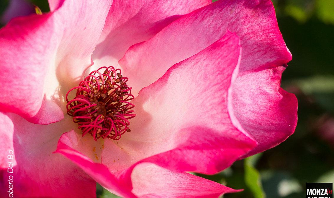 Fotogallery delle prime fioriture al roseto