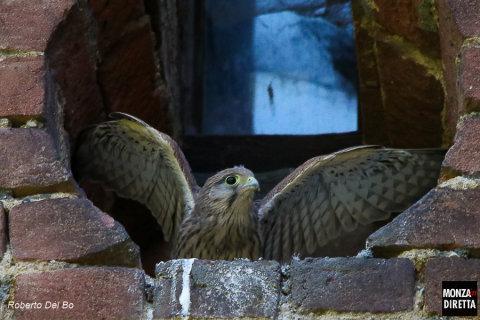 Gheppio immortalato presso i Giardini della Villa Reale a Monza