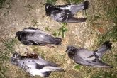 moria uccelli