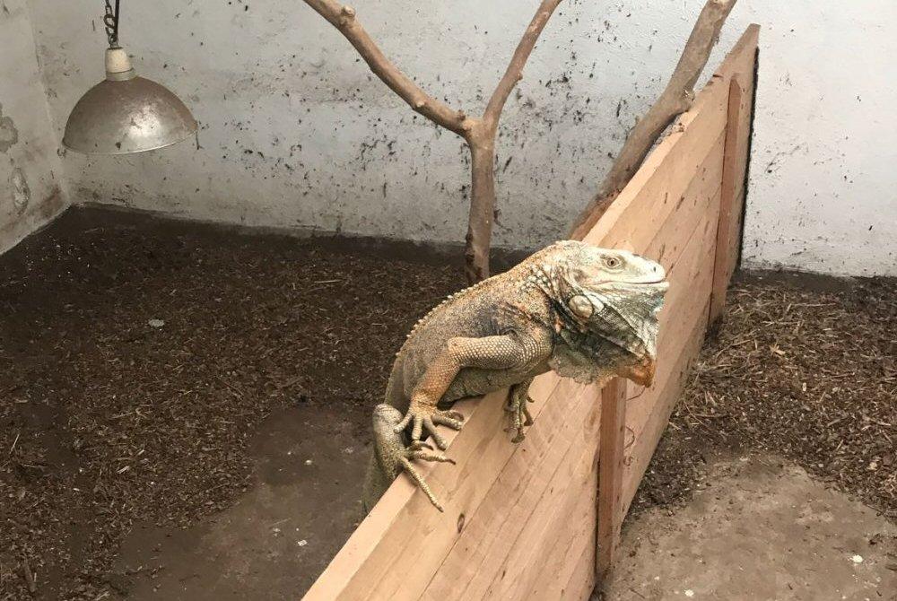 iguana enpa