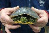 tartaruga brugherio