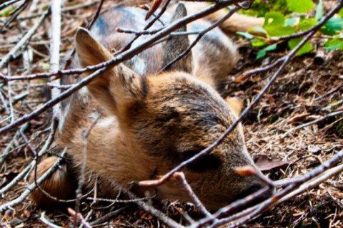 croppedimage720439-cucciolo-capriolo