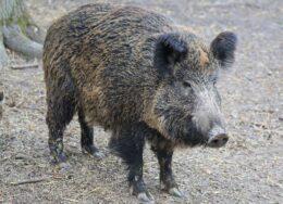 boar-2256297_1920-260x188.jpg