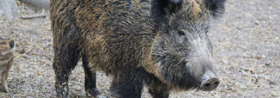 boar-2256297_1920-571x200.jpg
